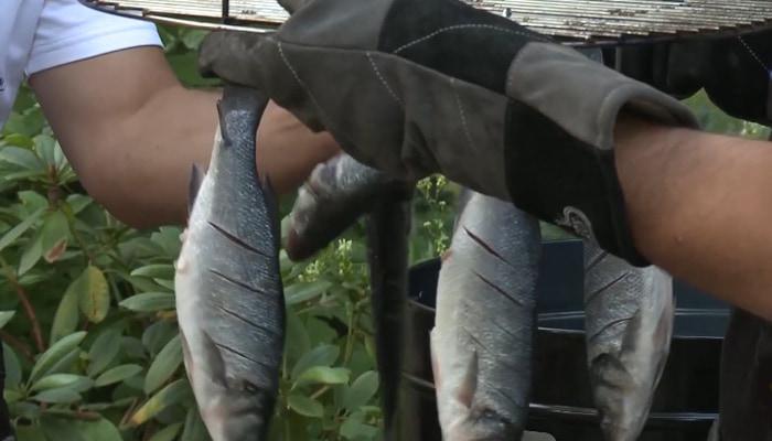 Рыба на крючках