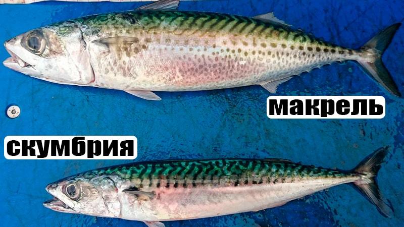 Сравнение скумбрии и макрели
